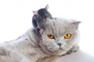 Mouse sitting on cat's head