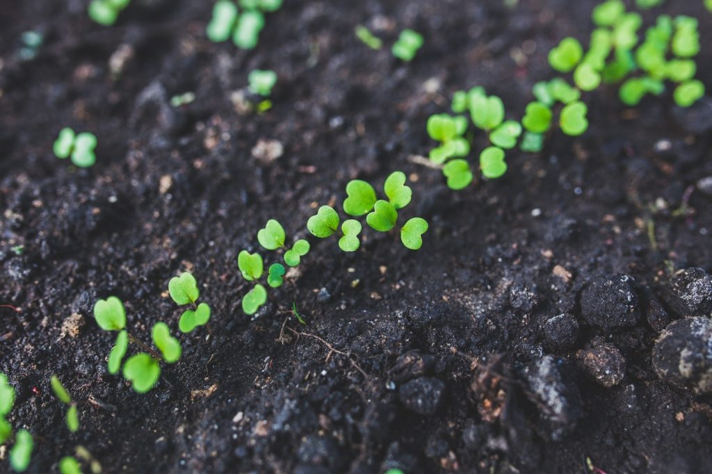 Close up of sprouts growing in soil