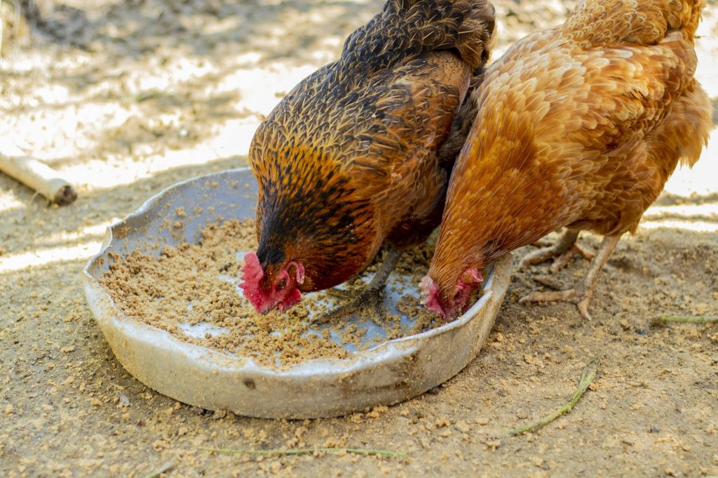 Chickens eating from a bowl