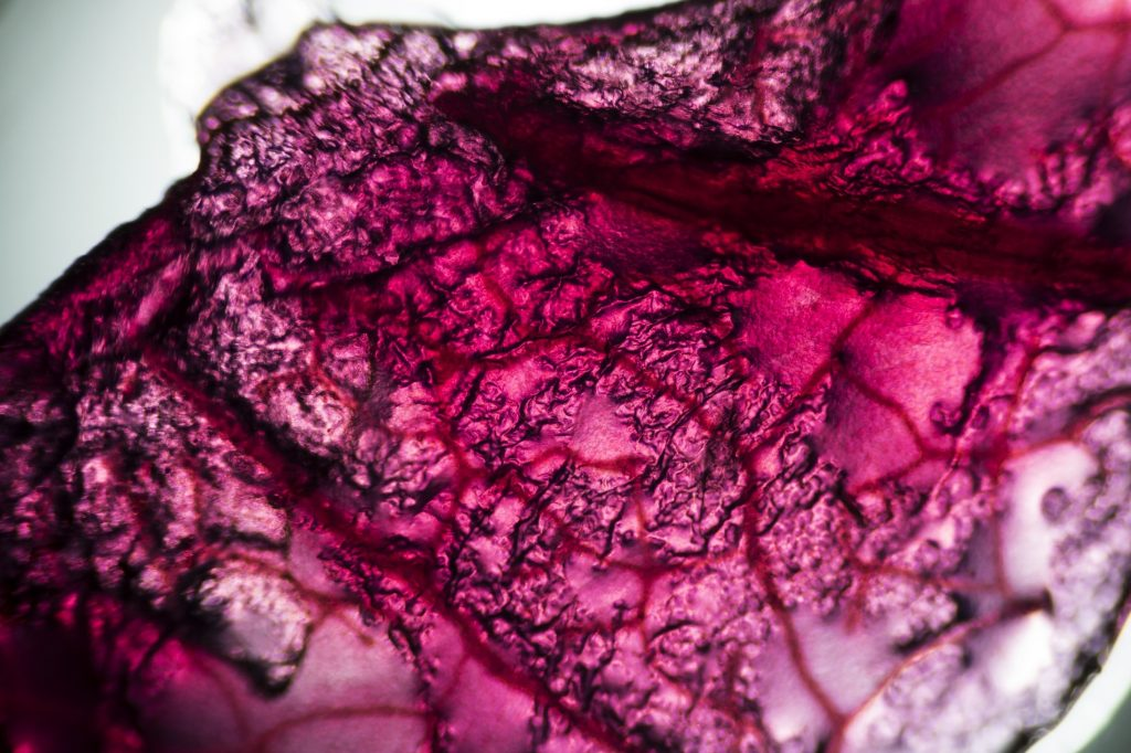 Microscope image of cabbage