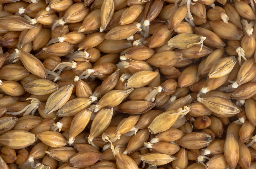 Close up of barley grains
